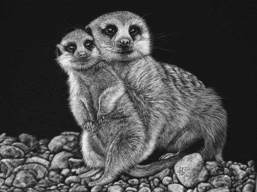 Illustration animale suricate