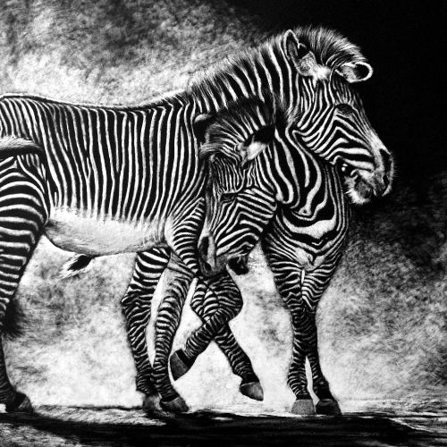 Animal illustration of Zebra