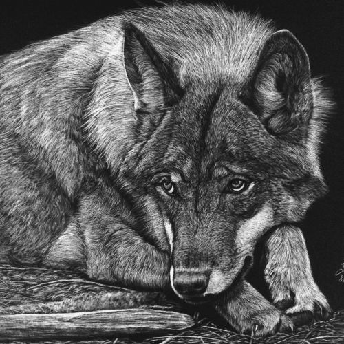 Animal illustration of wolf