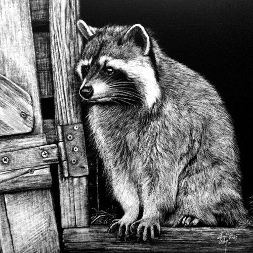 Animal illustration of Raccoons