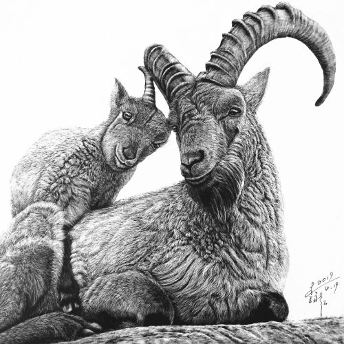 Feral Goat animal illustration