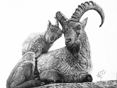 Illustration animale de chèvre sauvage