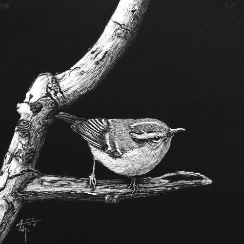 Carolina wren bird illustration