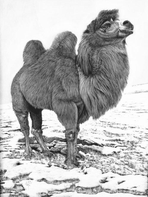 Bactrian camel animal illustration