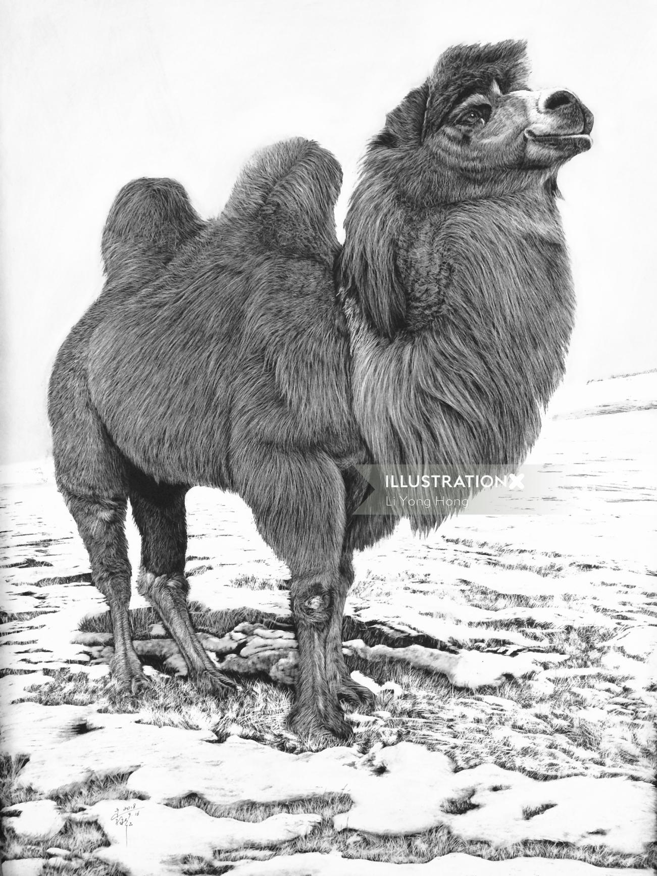 Bactrian camel animal illustration