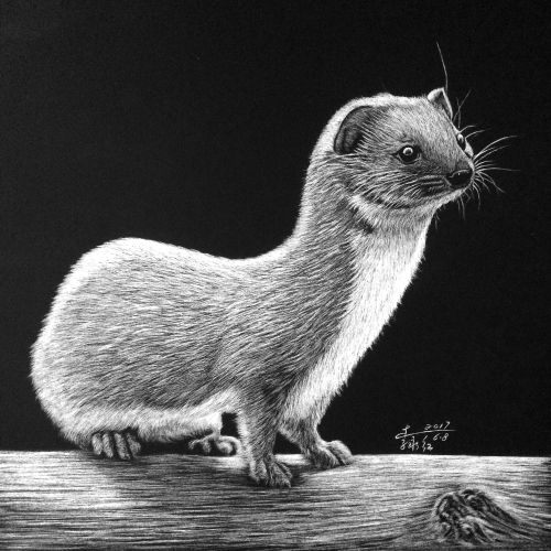 Least weasel Animal Illustration