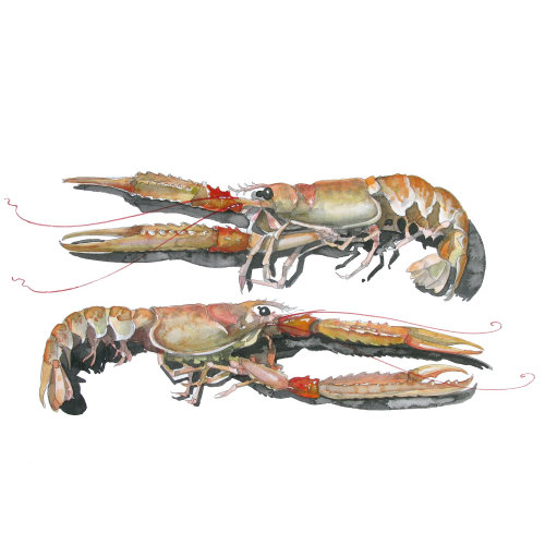 Illustration of langoustines