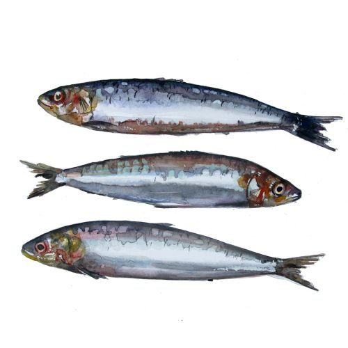Illustration of Sardines