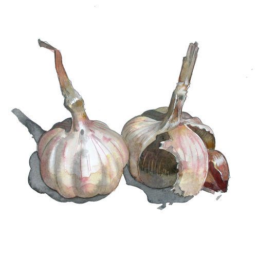 Illustration of Garlic
