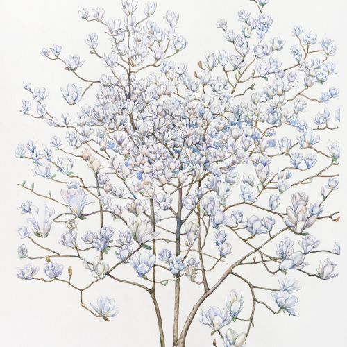 Watercolor art of Magnolia