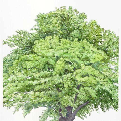 Watercolor art of Quercus Robur