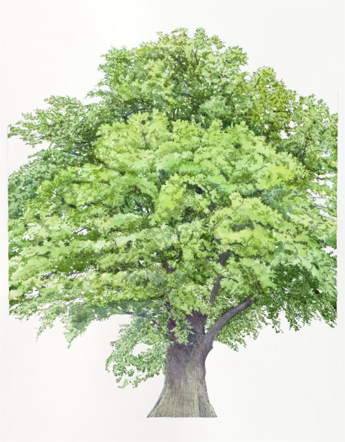 Watercolor art of Quercus Robur