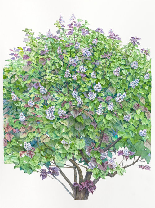 Catalpa tree Water color art