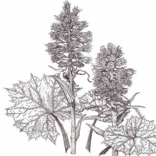 Liz Pepperell International botanical illustrator. UK