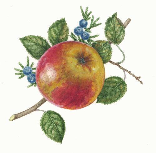 Fruit illustration of apple
