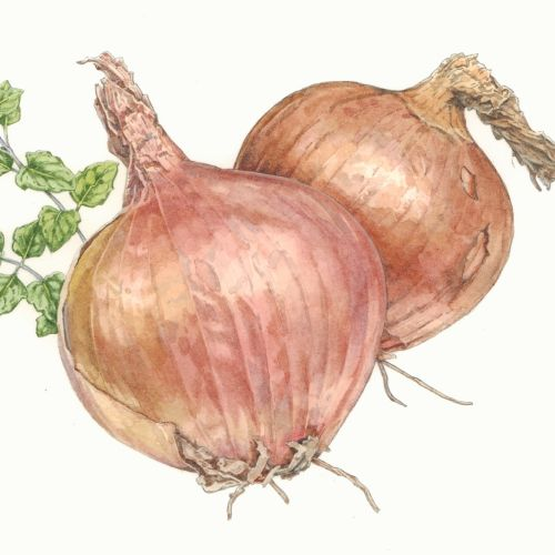 Onions watercolor painting
