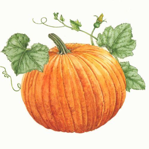 Watercolor painting of Pumpkin
