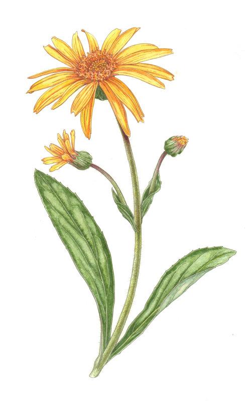 Nature illustration of arnica plants