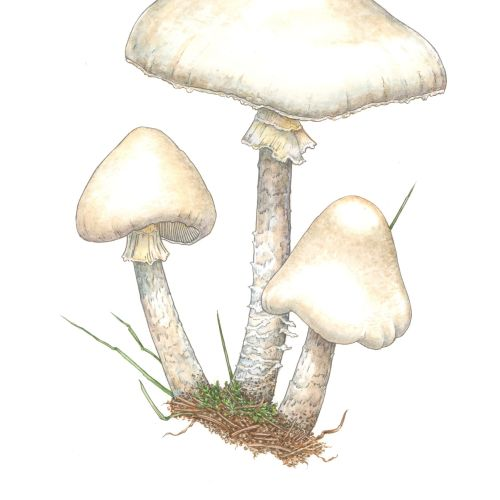 Destroying Angel toadstool illustration