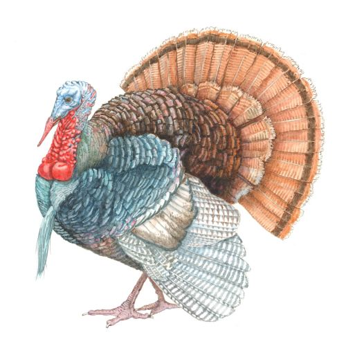 Turkey Gravy animal illustration