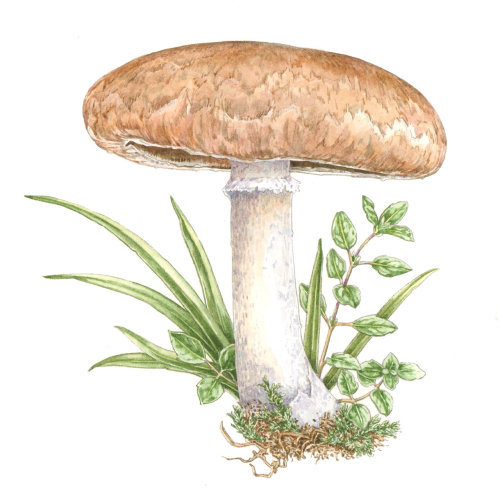 Mushroom Gravy watercolor painting