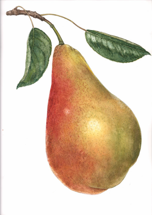 Watercolor illustration of pear fruit