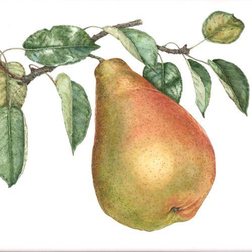 Food illustration of European Pear