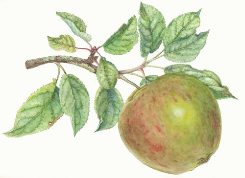 Watercolor painting of apple tree