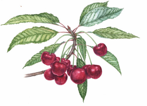 Watercolor painting of red cherry Plants