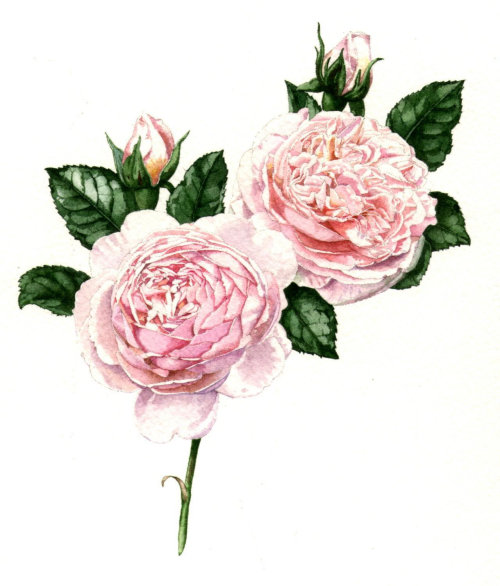 Nature illustration of pink roses