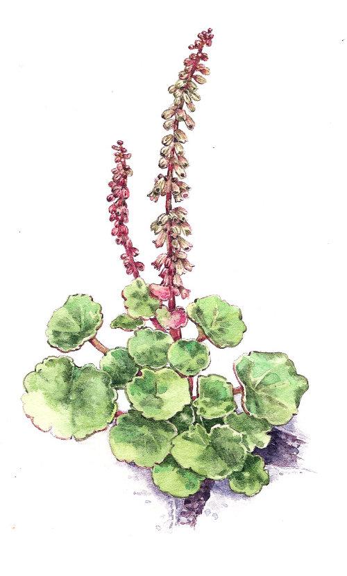 Graphic design of Ground ivy plants