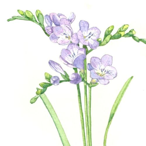 Freesias Watercolor art