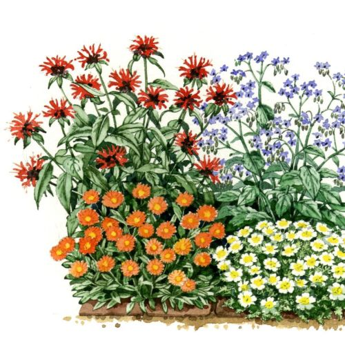 Watercolor illustration of marguerite daisy