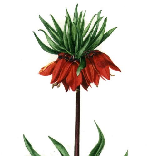 Crown imperial plants nature illustration