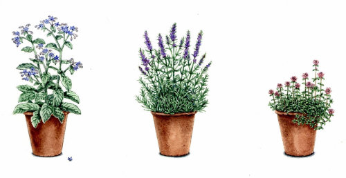 English lavender nature illustration