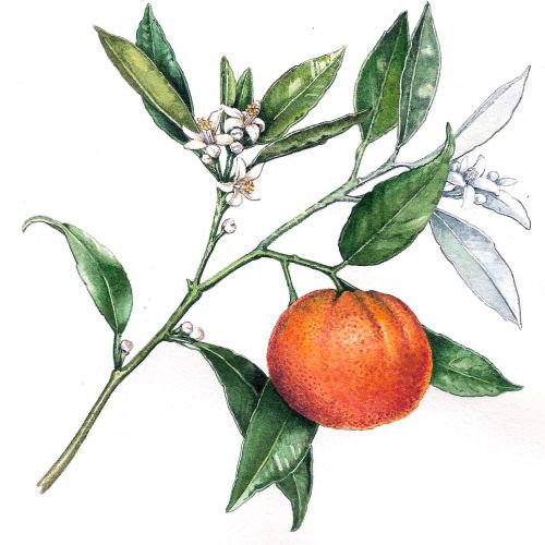 Food illustration of orange fruit