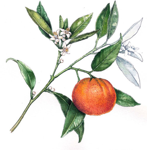 Food illustration of orange fruit
