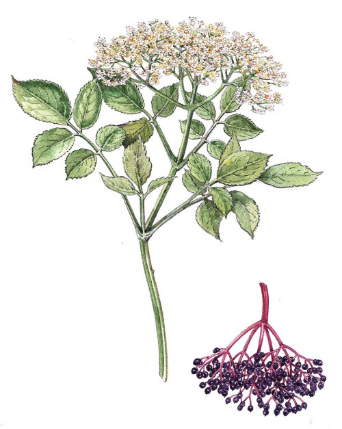 Marsh fleabane flowers nature illustration