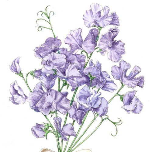 Harebell flowers nature illustration