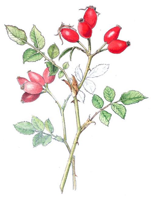 Rose hip fruit food illustration