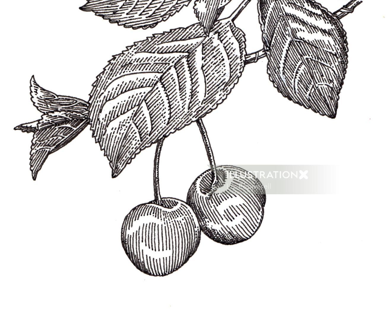 Black and white illustration of apple