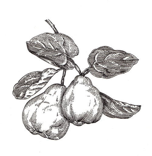 Black and white drawing of quince fruit
