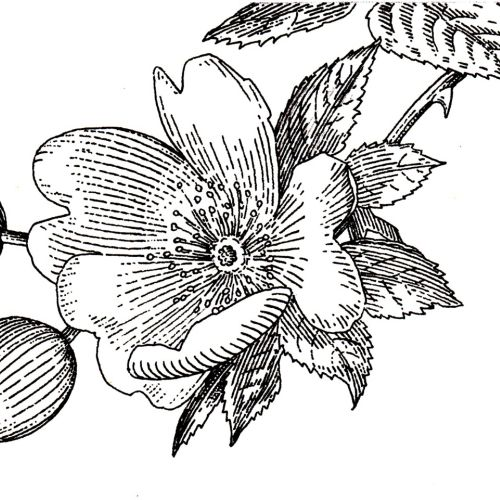 Black and white illustration of floral