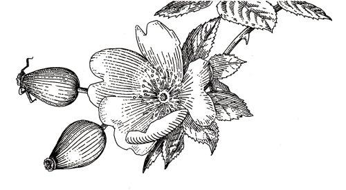 Black and white illustration of floral