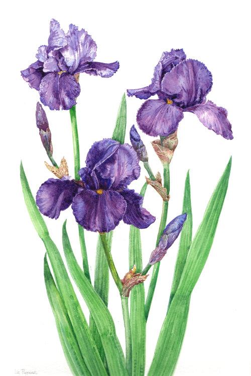 Northern blue flag nature illustration