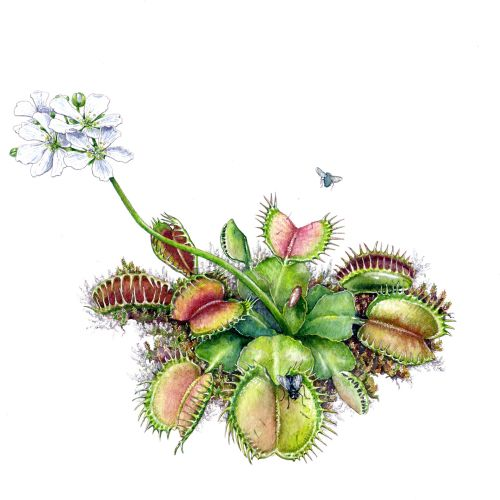 Nature illustration of Venus flytrap plant