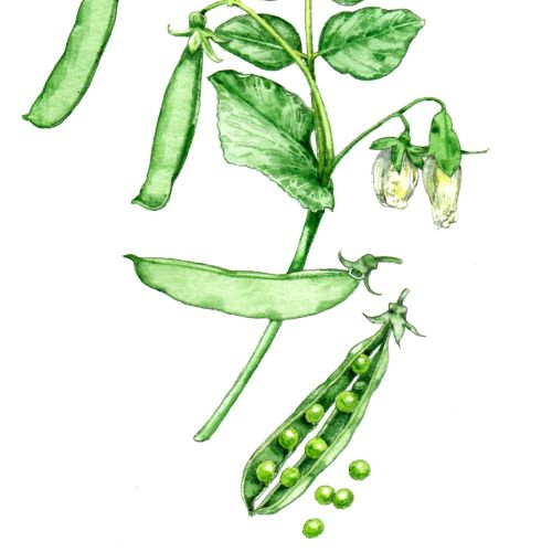 Food illustration of Snap pea