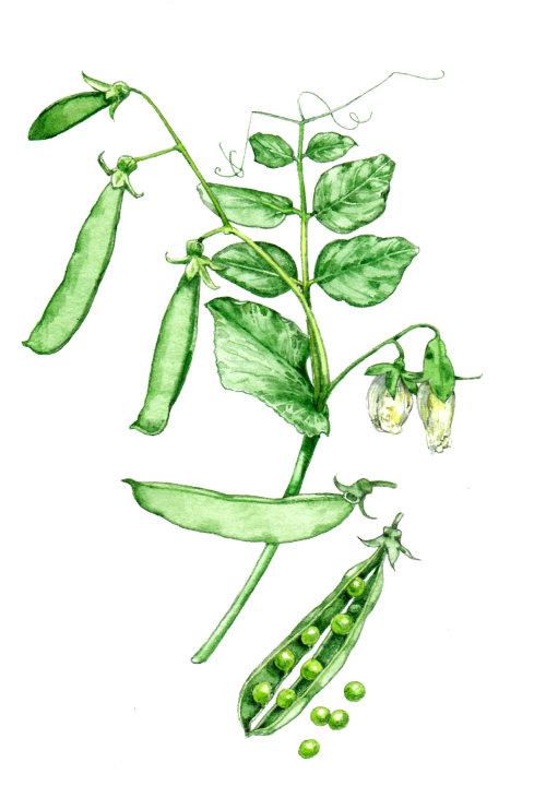 Food illustration of Snap pea