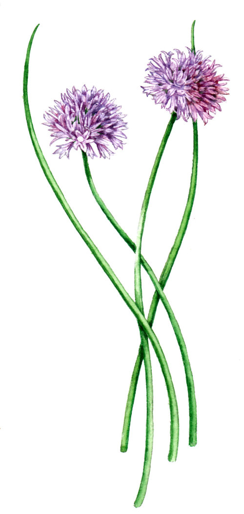 Nature illustration of Echinops plants