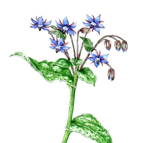 Borage plant nature illustration